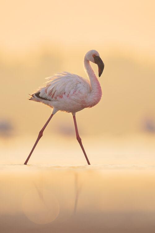 Backlit Lesser Flamingo. Lesser Flamingo backlit by soft early morning sunshine. Little Rann of Kutch, Gujarat, India.