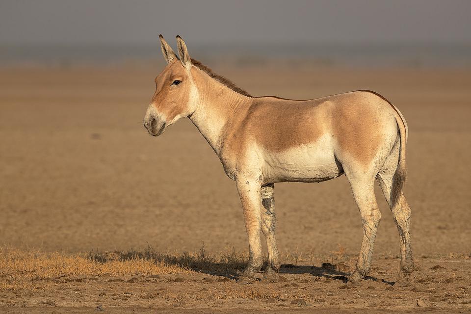 Indian Wild Ass Portrait. Handsome Indian wild ass stallion on the dry dusty plains of the Rann. Little Rann of Kutch, Gujarat, India.