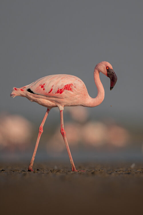 Lesser Flamingo Portrait. Bright pink lesser flamingo, Little Rann of Kutchh, Gujarat, India. The Little Rann of Kutch (LRK) is one of the largest breeding grounds for Lesser Flamingos in India. LRK is a unique habitat comprising of saline desert plains, thorny scrubland, arid grasslands, wetlands and marshes.