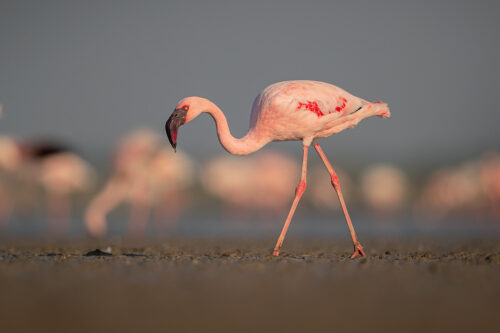 Pink Lesser Flamingo. Bright Pink Lesser Flamingo searching for algae in the mud flats surrounding a lake . Little Rann of Kutch, Gujarat, India.