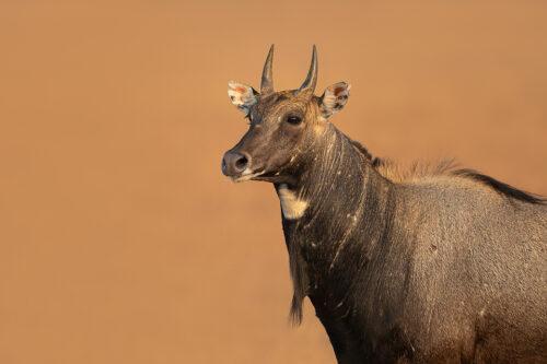 Blue bull Portrait. Close up portrait of an adult nilgai antelope (blue bull), Velavadar National Park, Gujarat, India.