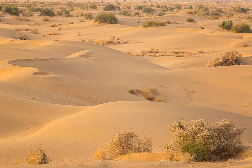 Desert sand dunes and patchy scrub stretching to the horizon at sunset. Desert National Park (DNP), Thar Desert, Rajasthan, India.