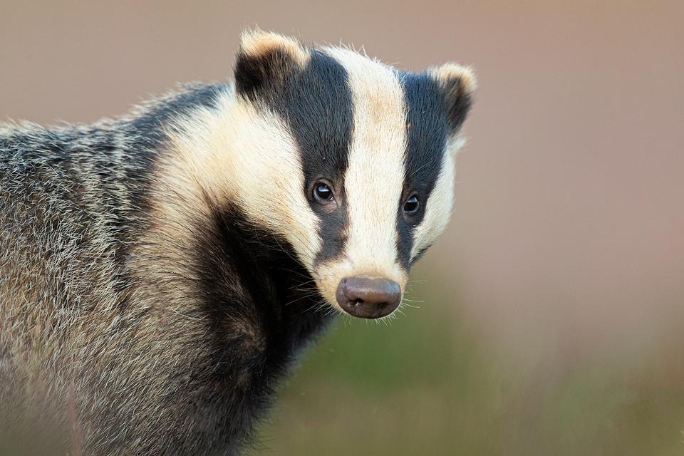 Adult Badger portrait. Badger photography workshop, Peak District National Park