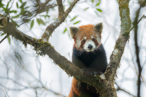 Red Panda Portrait. Wild red panda peers curiously towards the camera from the tree canopy. Himalayan cloud forest habitat. Singalila National Park, West Bengal, India.