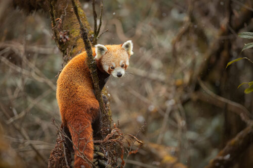 Red Panda in falling snow. Wild Red Panda looking back towards the camera with flakes of falling snow. Himalayan cloud forest habitat. Singalila National Park, West Bengal, India.
