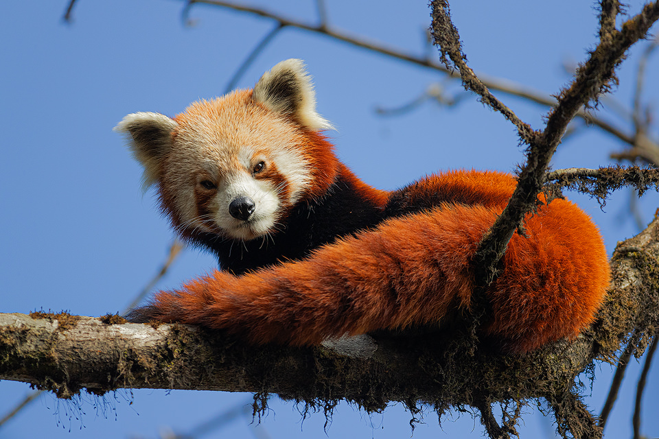 Wild red panda against a bright blue sky in typical Himalayan cloud forest habitat. Singalila National Park, West Bengal, India.