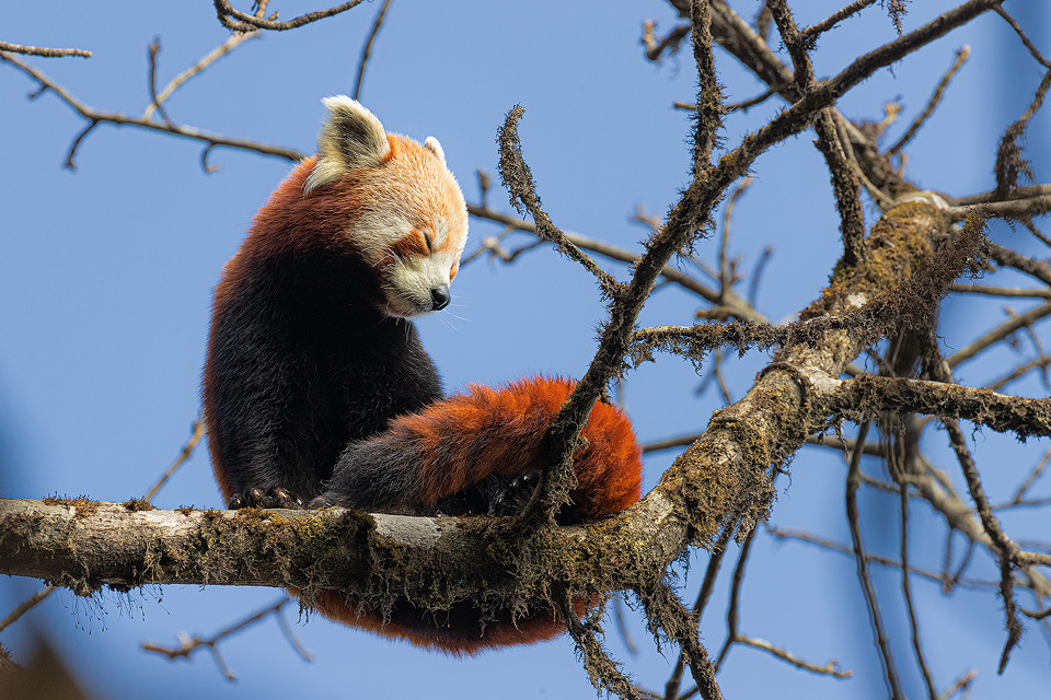 Wild red panda stretching beneath a bright blue sky in typical Himalayan cloud forest habitat. Singalila National Park, West Bengal, India.