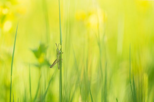grasshopper on a grass stem. Tyrol, Austria. Taken during a fantastic week in the Austrian Alps photographing the amazing range of plants and insects in the Alpine meadows. I won the trip as part of my award in the British Wildlife Photography Awards a while back and the tour focused primarily on macro photography.