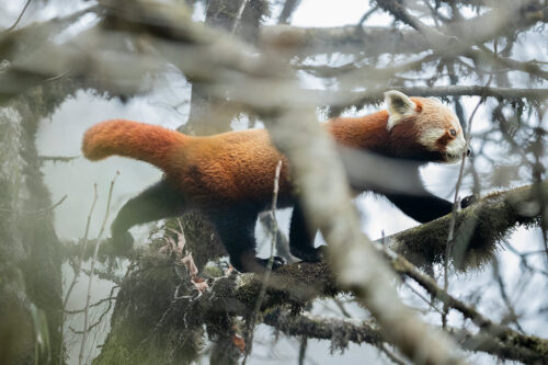 Wild red panda walking through a tangle of branches in typical Himalayan cloud forest habitat. Singalila National Park, West Bengal, India.