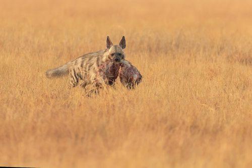 Striped Hyena with scavenged kill. A female striped hyena with a scavenged blackbuck antelope carcass. Blackbuck National Park, Gujarat, India.