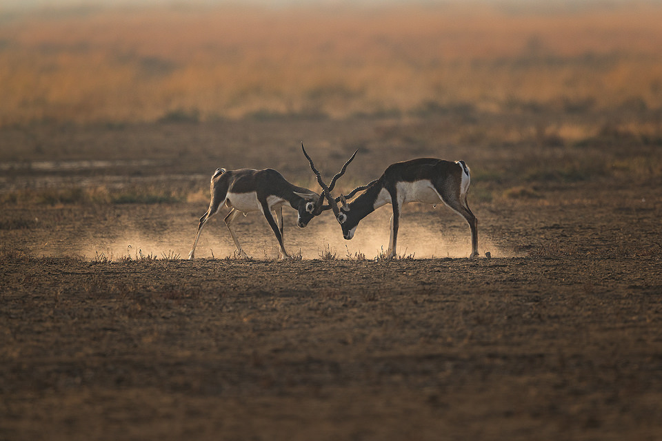 Fighting Blackbucks. Two male blackbuck antelopes fighting on a dry dusty plain. Blackbuck National Park, Gujarat, India.