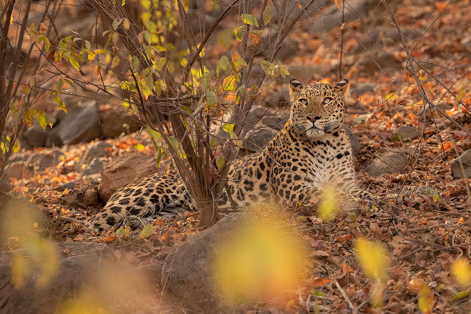 Ranthambore Leopard. A male leopard rests in the late afternoon sunshine. Ranthambore National Park, Rajasthan, India.