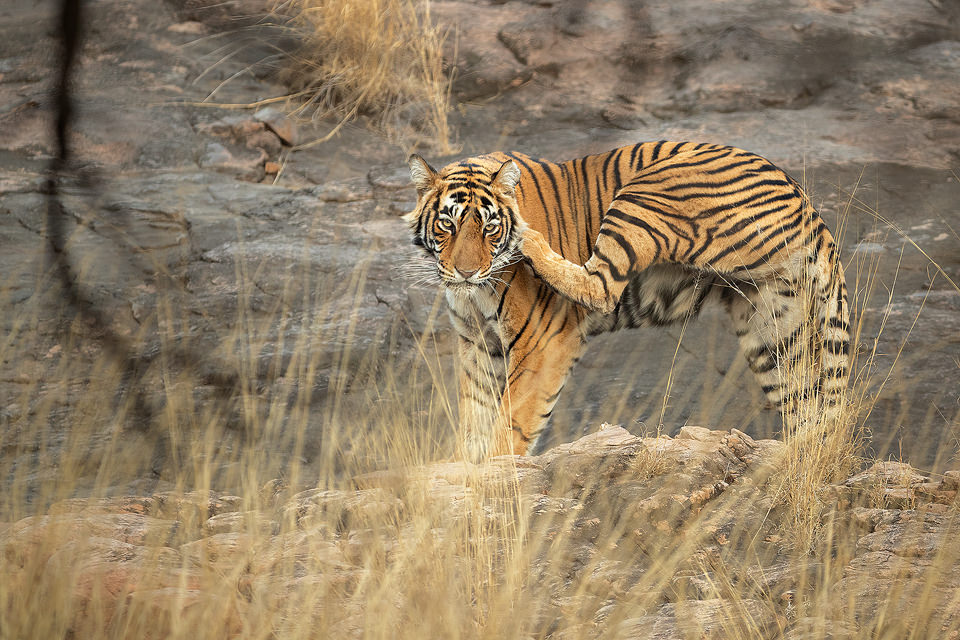 Scratching Tiger. A Ranthambore tigress known as Noori (aka T-105) scratching her head after waking up. After becoming an adult, Noori has made her territory in zone no.2 of the famous Ranthambore National Park. Ranthambore National Park, Rajasthan, India.