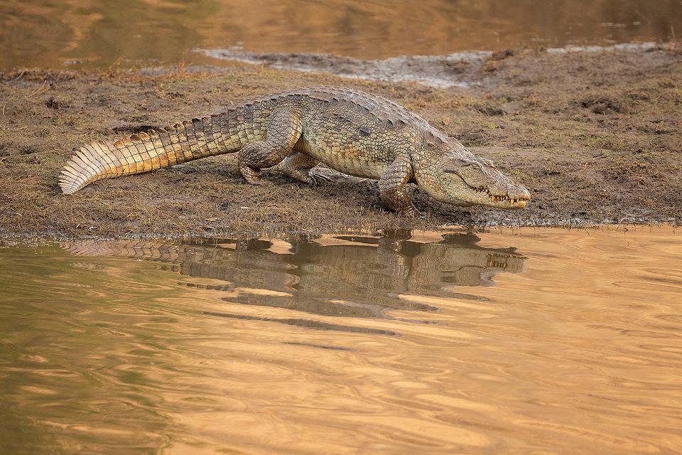 Mugger Crocodile Ranthambore National Park. A large mugger crocodile reflected in a river in late afternoon sunshine. Ranthambore National Park, Rajasthan, India.