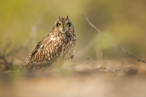 Short-eared owl portrait LRK. SEO sheltering from the blistering afternoon sun under a thorny bush in desert scrubland habitat. Little Rann of Kutch, Gujarat, India.