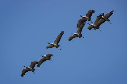 Migrating Demoiselle cranes. A group of demoiselle cranes in flight over the Little Rann of Kutch, Gujarat, India.