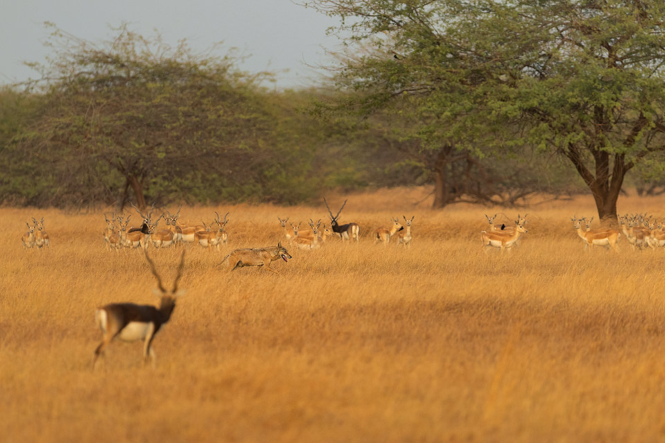 Indian wolf and blackbucks. A lone indian wolf moves through a herd of blackbuck antelopes in the grasslands of Velavadar National Park, Gujarat, India.
