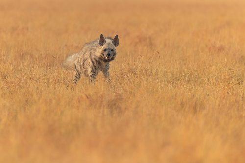 Female Striped Hyena. A female striped hyena resting after dragging a scavenged blackbuck antelope kill through the grasslands of Velavadar. Blackbuck National Park, Gujarat, India.