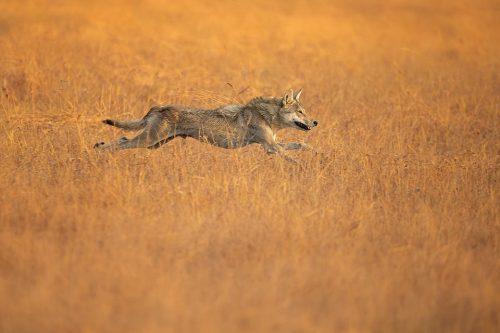 Hunting Indian Wolf. Indian Grey wolf sprinting through the grassland after a blackbuck antelope. Velavadar National Park, Gujarat, India.