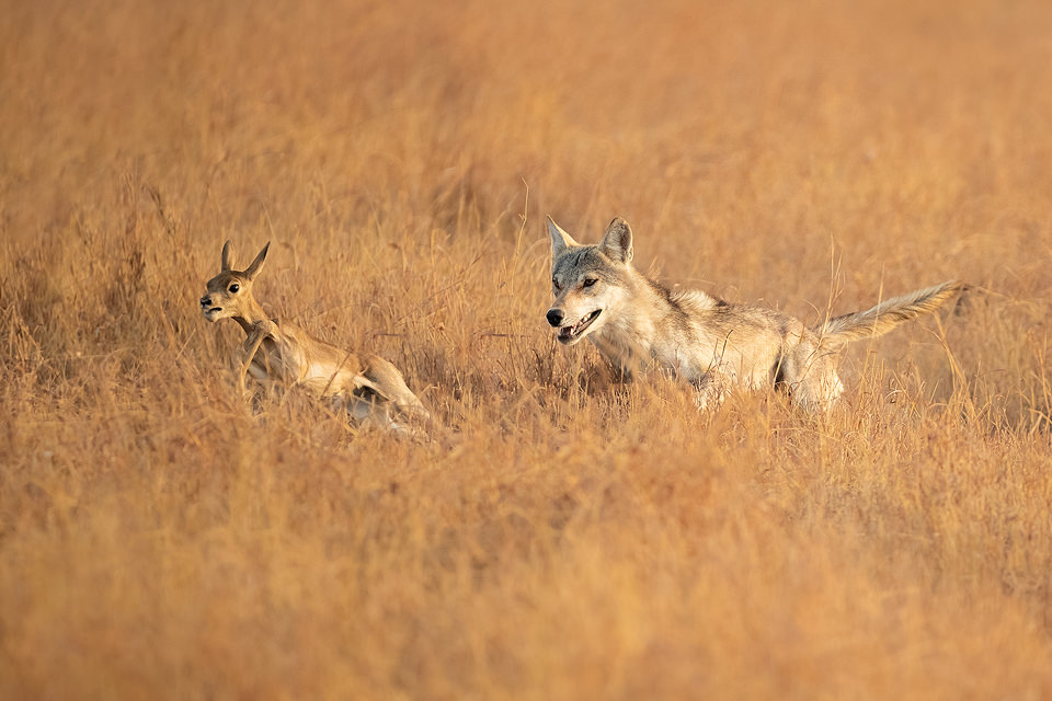 Indian Wolf Hunting Blackbuck. Indian Grey wolf sprinting through the grassland after a young blackbuck antelope. Velavadar National Park, Gujarat, India.