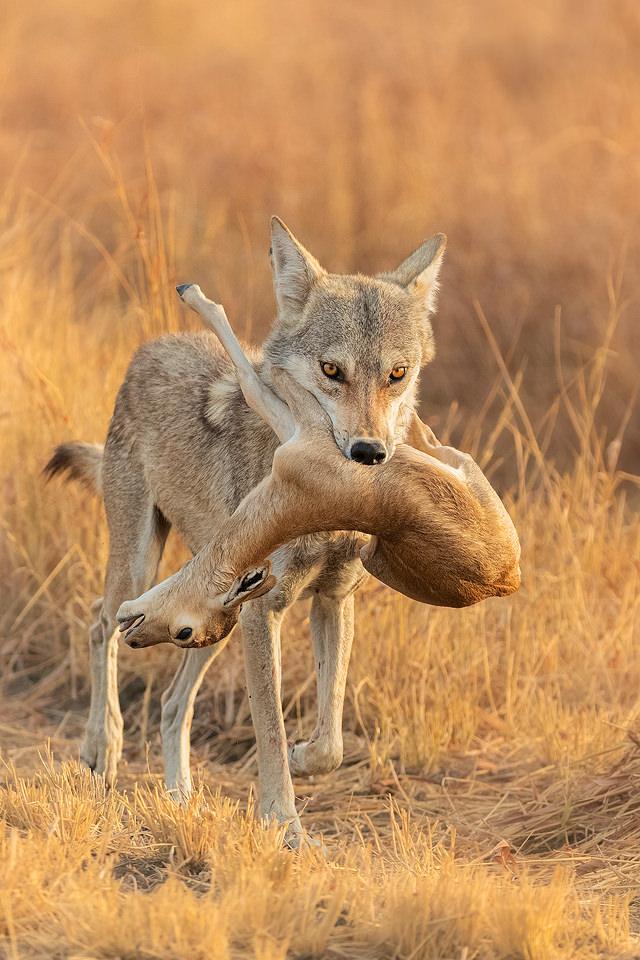 Indian Wolf Kill. Indian Grey wolf with young blackbuck antelope kill. Velavadar National Park, Gujarat, India.