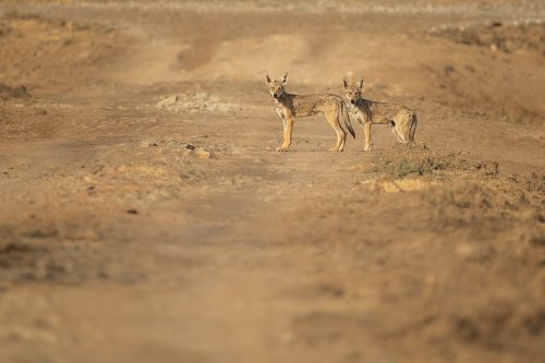 A pair of indian wolf pups curiously look towards our vehicle from a dry dusty track in the grasslands of Velavadar National Park, Gujarat, India.