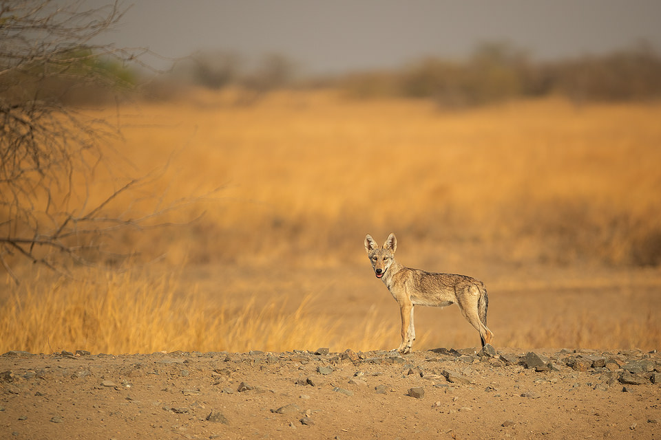 An Indian wolf pup pauses on a dry dusty track in the grasslands of Velavadar National Park, Gujarat, India. Wolf pups are born blind and their eyes open around 9-12 days after birth. When pups are around 3 months old they are ready to venture away from the den for the first time.