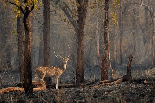 Chital deer stag standing in the burnt forest after a severe forest fire in March 2021 that damaged many of the core zones. Bandhavgarh National Park, Madhya Pradesh, India.