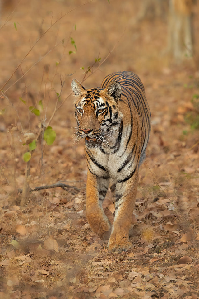 A young tigress emerges from the jungle during the dry season in Tadoba National Park, Maharashtra, Ind