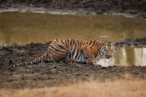 A young tigress crouching to drink from a muddy dried up pool during the dry season in Tadoba National Park, Maharashtra, India.