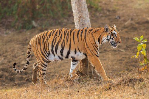 Tadoba Tigress. A young tigress passing a tree with deep claw marks. Tadoba National Park, Maharashtra, India.