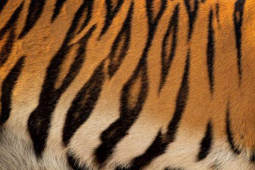 Tiger Stripes. Close up of a female tigers stripe pattern, Tadoba National Park, Maharashtra, India