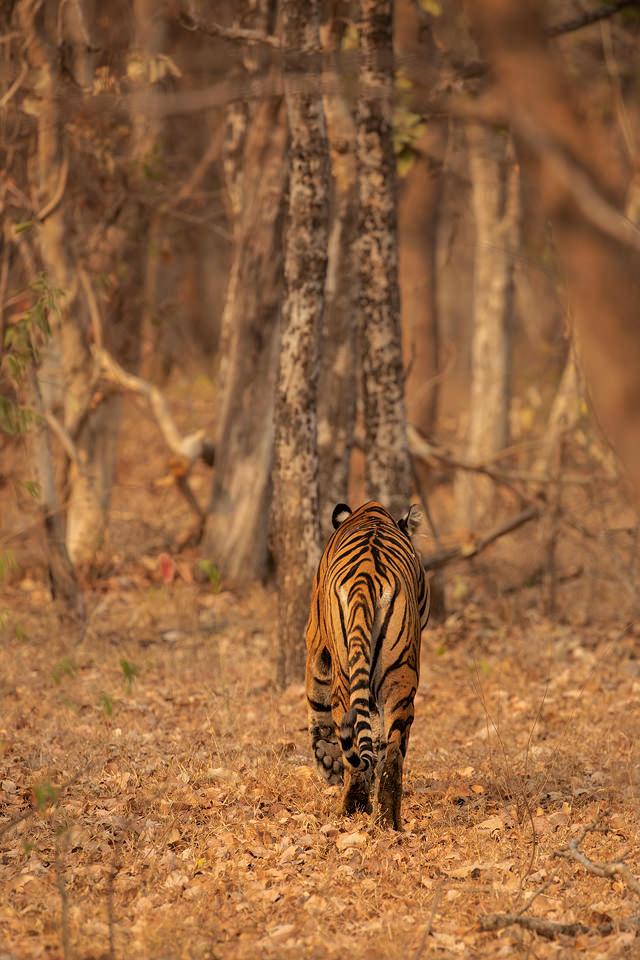 Return to the Jungle. An adult tigress disappearing back into the jungle, Tadoba National Park, Maharashtra, India