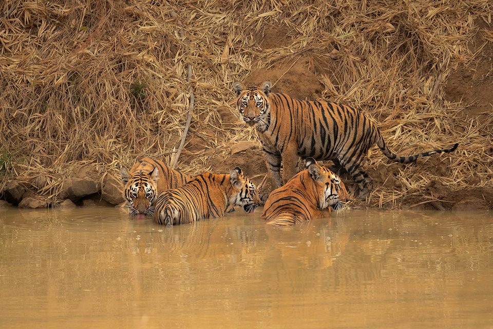 Tiger Family. A family of tigers cooling off in a pool during the blistering daytime heat, Tadoba National Park, Maharashtra, India