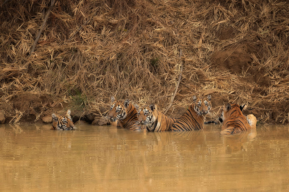 Tiger Family. A family of five tigers cooling off in a pool during the blistering daytime heat, Tadoba National Park, Maharashtra, India