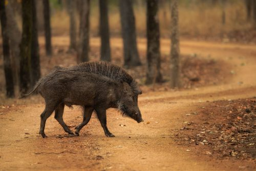 Indian Wild Boar Pench National Park. A big male Indian wild boar crosses the track with crest raised. Pench National Park, Madhya Pradesh, India.
