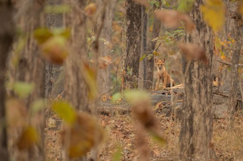 An Indian wild dog pup peers towards our vehicle while its sibling sleeps outside their den. Pench National Park, Madhya Pradesh, India.