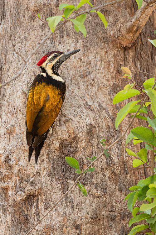 Black-rumped Flameback on a tree trunk. Khursapar zone, Pench National Park, Maharashtra, India.