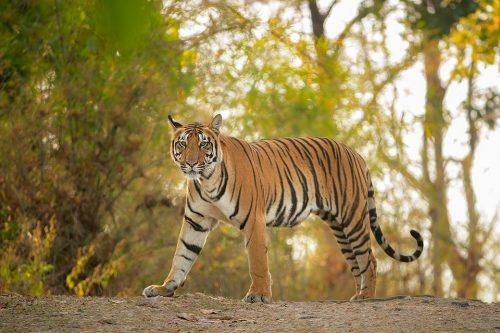 Kanha National Park Tiger.
