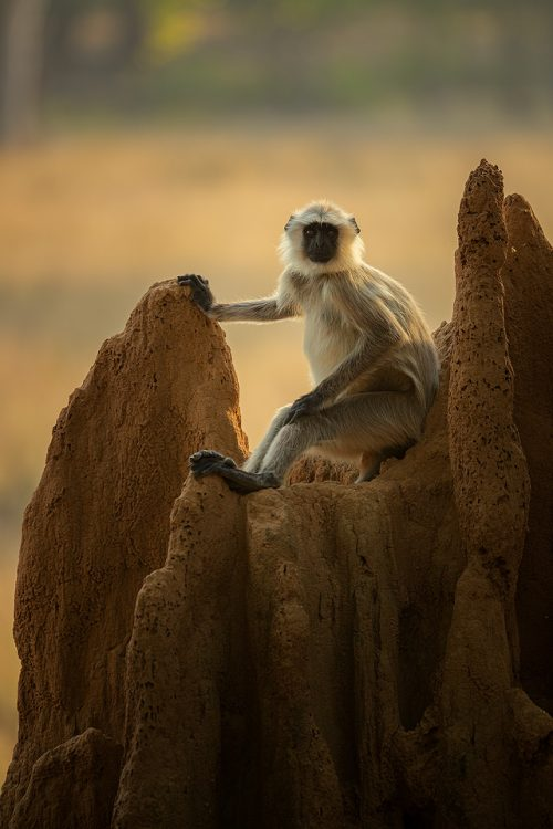 Gray Langur on Termite Castle. A gray langur resting on the top of a termite 'castle'. Kanha National Park, Madhya Pradesh, India. These old world monkeys are named after the Hindu monkey god, Lord Hanuman, and are regarded as sacred in India.