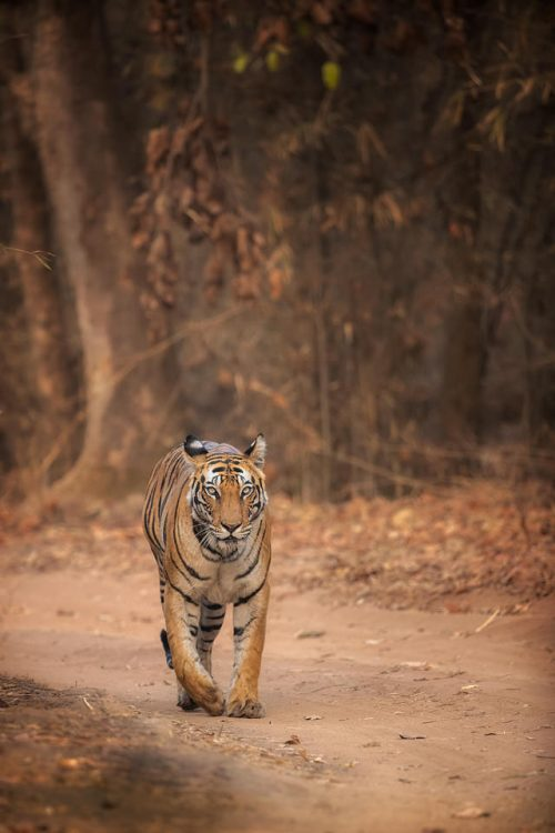 Tiger in dry forest, Bandhavgarh. A female Bengal tiger heads straight towards the jeep with a dry brown forest backdrop. Bandhavgarh National Park, Madhya Pradesh, India.