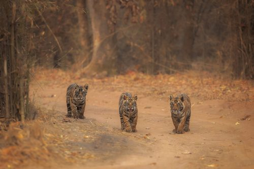 Tiger Cubs. Three tiny tiger cubs pause in the middle of the track at dawn and look towards our jeep. Bandhavgarh National Park, Madhya Pradesh, India.