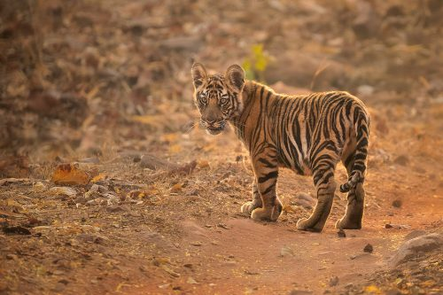 Bandhavgarh Tiger Cub. A tiger cub stands in the middle of the track and looks back towards the jeep. Bandhavgarh National Park, Madhya Pradesh, India.