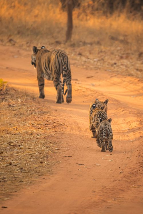 Three Tiger Cubs and Mother. Three tiger cubs following their mother in the middle of the track, showing the huge size difference. Bandhavgarh National Park, Madhya Pradesh, India.
