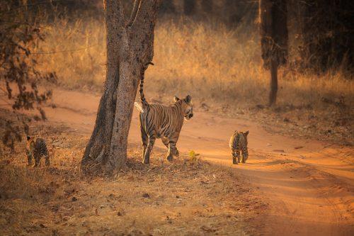 Scent Marking Tiger. Tigress scent marking a tree on the border of her territory. Bandhavgarh National Park, Madhya Pradesh, India.