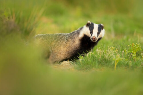 Badger in Bracken. An adult European badger emerged from the sett surrounded by fresh green bracken shoots. Derbyshire, Peak District National Park.